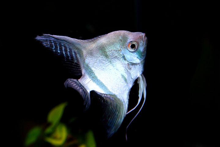 熱帯魚2014-05.jpg
