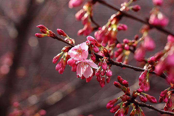 彼岸桜とレクイエム1.jpg