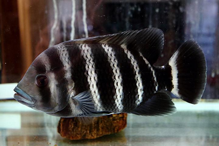 熱帯魚2015-06.jpg