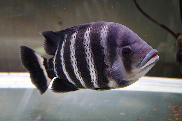 熱帯魚2017-4.jpg