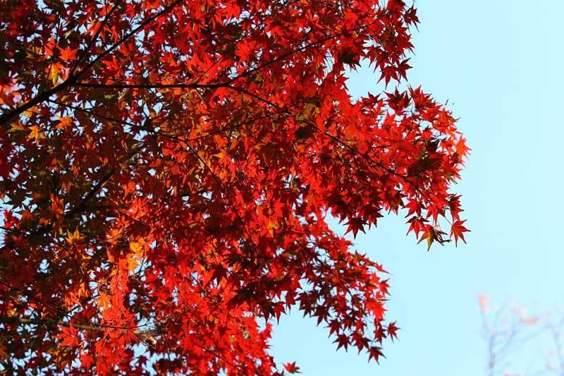 紅葉0.jpg